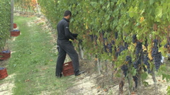 Barolo workers picking grapes  Stock Footage