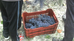 Barolo tossing grapes in crate  Stock Footage