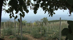 Italy Barolo vines on stakes Stock Footage