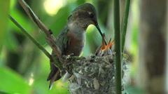 Humming Bird Feeding young babies Stock Footage
