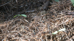 Wood ants, Formica rufa waking up during spring in Sweden Stock Footage