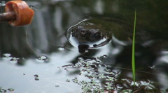 Snapping turtle slow motion Stock Footage