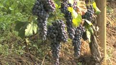 Barolo Nebbiollo grapes on vines Stock Footage