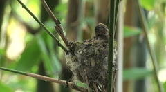 Baby Humming bird in nest Stock Footage