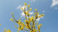 Flowering dogwood Stock Footage