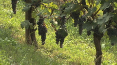 Barolo Nebbiollo vineyards hanging grapes on the vine Stock Footage