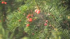 Italy Barolo yew berries on yew tree Stock Footage
