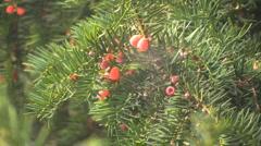 Italy Barolo yew berries on yew tree Stock Footage