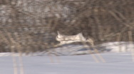 Bounding Hare Stock Footage