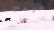 Bears Walkabout 3 Stock Footage