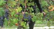 Barolo hands picking grapes Stock Footage