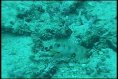 Shrimp diving underwater video Stock Footage
