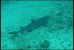 Shark diving underwater video Stock Footage