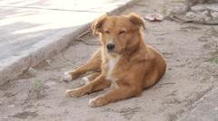 Homeless Dog (HD) Stock Footage