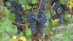 A bunch of grapes in Piedmont Italy Stock Footage