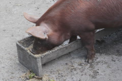 Pig feeding at trough. SD. Stock Footage