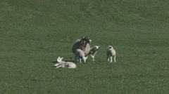 Ewe and a group of lambs. Sheep. Stock Footage