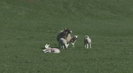 Stock Video Footage of Ewe and a group of lambs. Sheep.