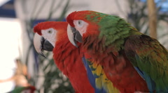 Green and Red Macaw (HD) - stock footage