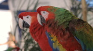 Stock Video Footage of Green and Red Macaw (HD)