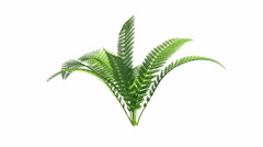 Growing fern with alpha channel Stock Footage