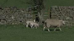 Ewe and lambs walk near dry stone wall. Sheep. Stock Footage
