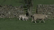 Stock Video Footage of Ewe and lambs walk near dry stone wall. Sheep.