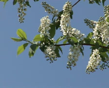 blooming bird-cherry 1 - stock footage