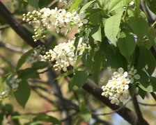 blooming bird-cherry 2 - stock footage