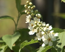 blooming bird-cherry 3 - stock footage