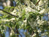 Blooming bird-cherry 4 Stock Footage