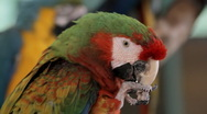 Hybrid Macaw Chewing (HD) Stock Footage