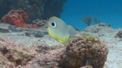 Butterflyfish swimming around a coral reef Stock Footage