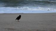 Bird on Lamai Beach,Tropical Paradise Island, Ko Samui, Thailand, Big Waves Stock Footage