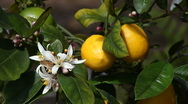 Meyer lemon tree Stock Footage