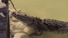 Crocodile Feeding Side View (HD) Stock Footage
