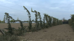 Italy Po delta grape vines trained high Stock Footage