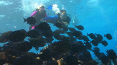 School of fish: Blue tang with scuba divers Stock Footage