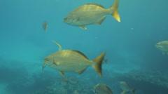 Yellow Chub Fish Caribbean Ocean Dive (HD) Stock Footage
