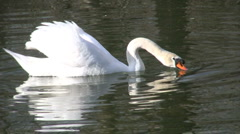 Beautiful Swan - stock footage