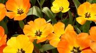 Orange Tulips 01 Stock Footage