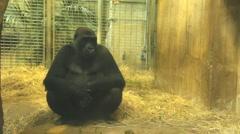 Gorilla in Captivity Stock Footage