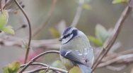 Blue Tit lands on twig Stock Footage