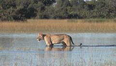 Lion Walking in Water Stock Footage