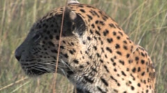 Leopard Head Shot Stock Footage