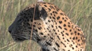 Stock Video Footage of Leopard Head Shot