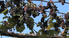 Italy grapes hanging from a trellis Stock Footage