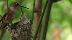 Humming bird feeding babies 16 Stock Footage