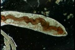 Ogliochaete worm Stock Footage
