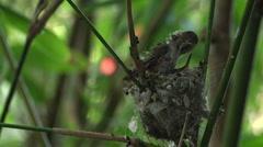 Humming bird babies 6 Stock Footage